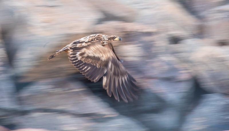Bald Eagle immature flight breakwall Wisconsin Point Superior WI DSC07699.jpg