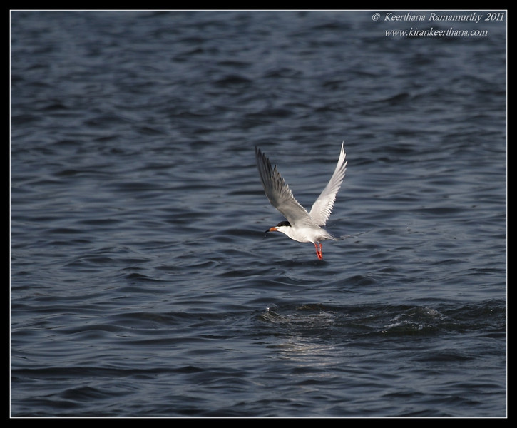 Forster's Tern, Robb Field, San Diego River, San Diego County, California, April 2011