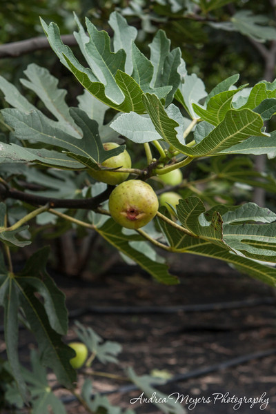 Ticonderoga Farms: Fig Feast