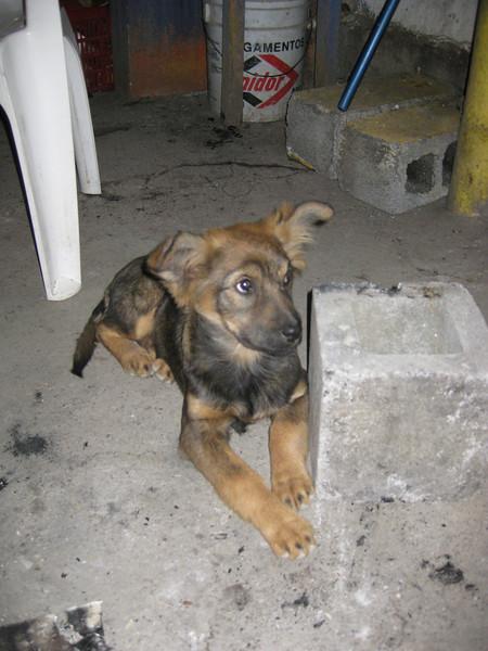 Maya the cute puppy in El Salto