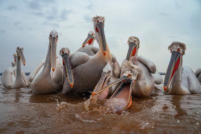 The rise of Lake Kerkini's Dalmatian Pelican