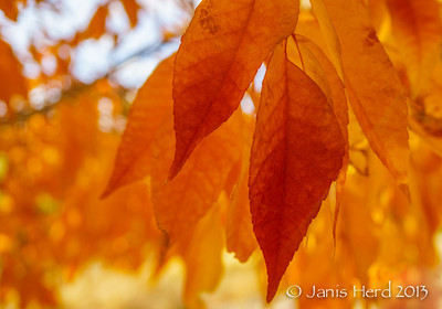 Fall Color, San Rafael Park, Reno, Nevada, closeup
