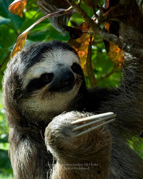 Three Toe Sloth Aviarios del Caribe, Costa Rica