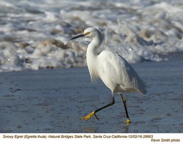 Snowy Egret 28663.jpg
