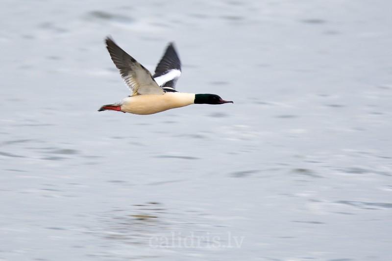 Goosander in flight, winter, male, breading plumage