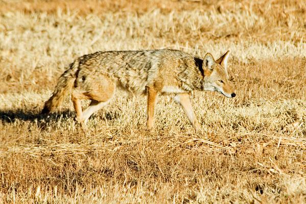 Coyote - Bosque Del Apache NWR - NM