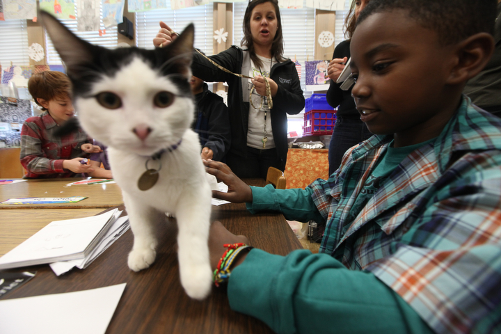 """. Jae\'on Anderson reaches out to pet Larry, a shelter cat from the East Bay SPCA , in her Sylviane Cohn\'s  2nd/3rd grade class at Joaquin Miller Elementary School in Oakland, Calif. on Feb. 15, 2013. Anya Pamplona, middle, a Humane Advocate, brought Larry and Ziti, a whippet from the P.A.L.S. program to the class to visit with students as part of the \""""Drive to Thrive\"""" program. (Laura A. Oda/Staff)"""