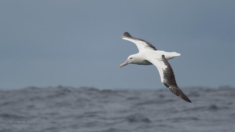 Southern Royal Albatross, Eaglehawk Neck Pelagic, TAS, Sept 2016-5.jpg