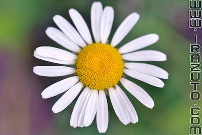 Marguerite - Daisy (Primula)