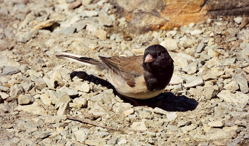 Male Dark Eyed Junco, WA
