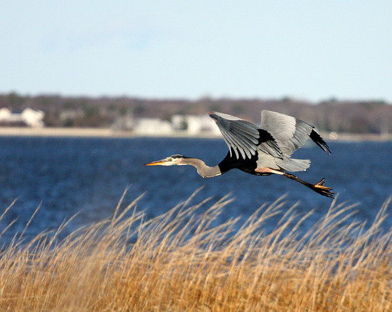 2008 - The Great Blue Heron on Dune Road
