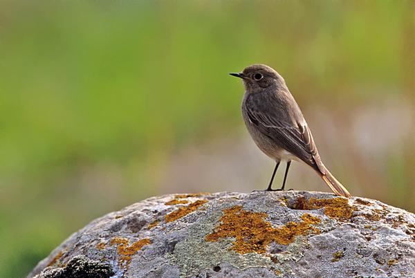 Black Redstart - חכלילית סלעים