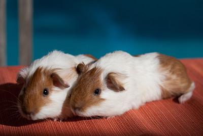 2013  Ginger's guinea pig babies