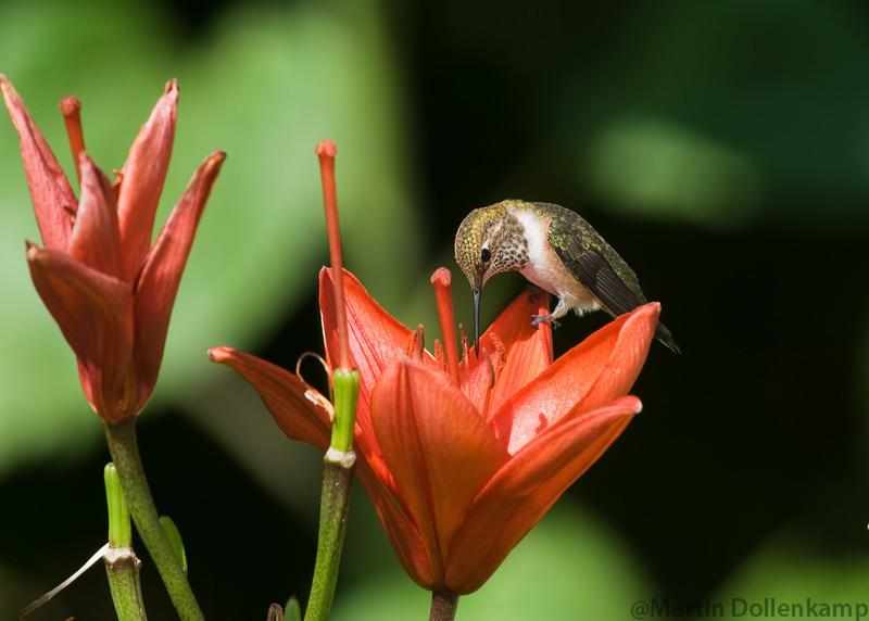 Rufous Hummingbird, juvenile male, at the Lily's. Selasphorus rufus