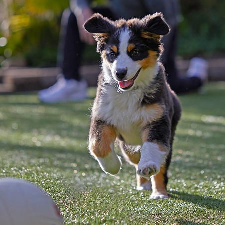 REMY-Australian Shepherd Puppy
