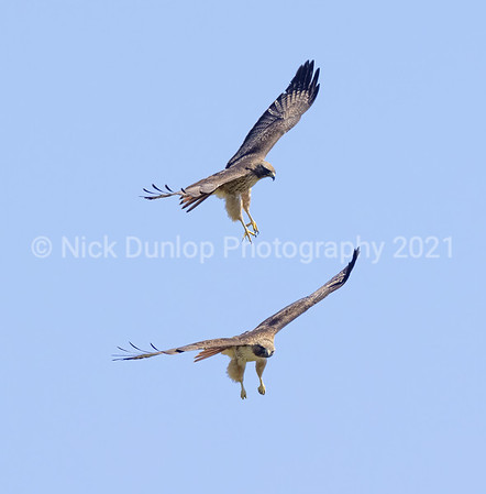 Red Tailed Hawk Courtship