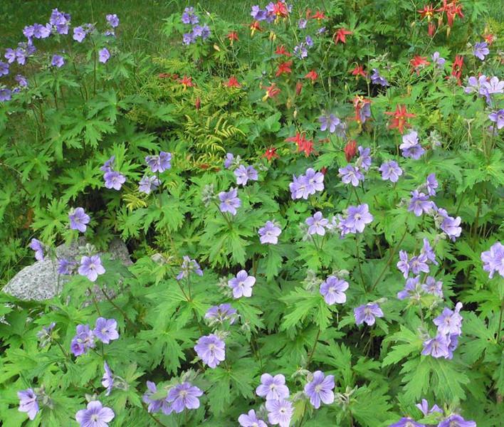 geranium5.jpg