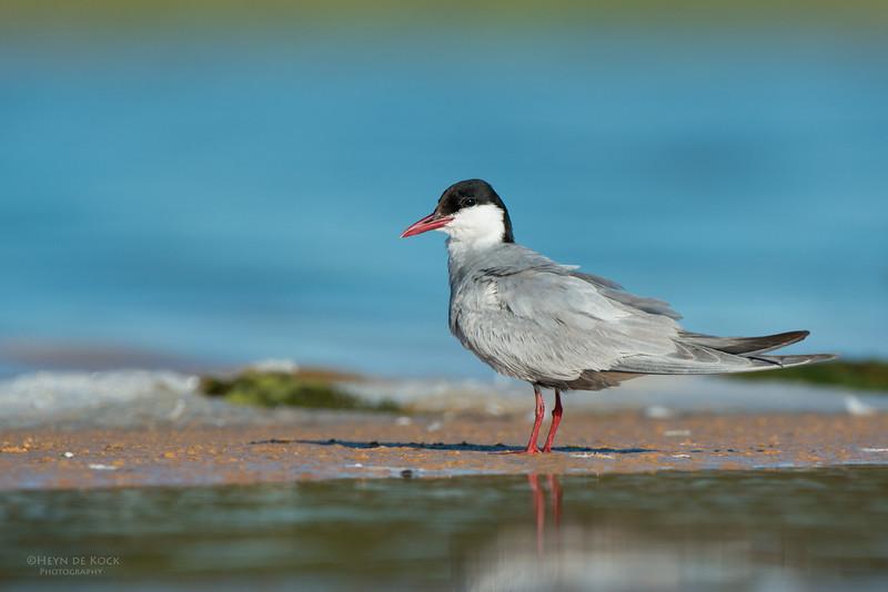 Whiskered Tern, Lake Wollumboola, NSW, Jan 2015-3.jpg