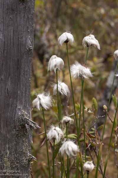 hare's tail cottongrass (Eriopborum vaginaeum) var. spissum
