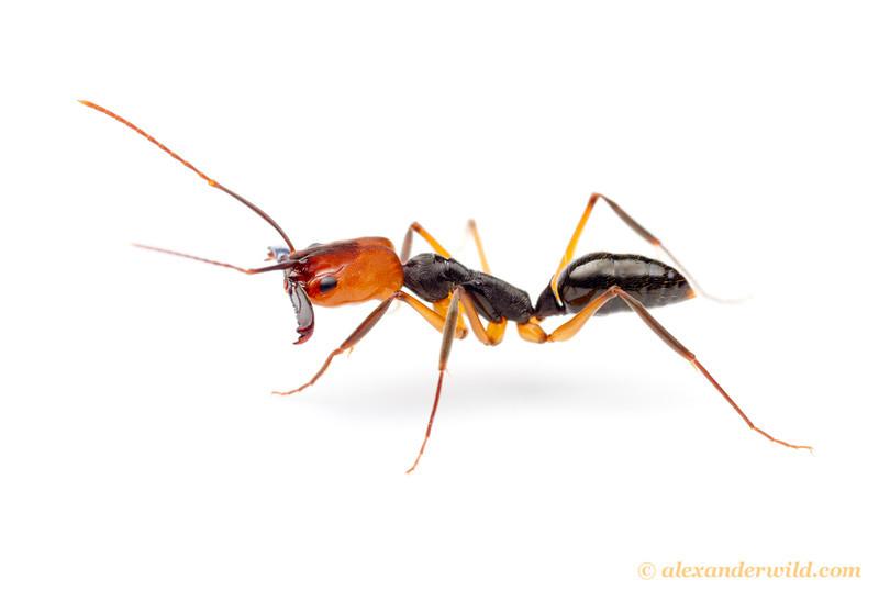 Odontomachus erythrocephalus trap-jaw ant.
