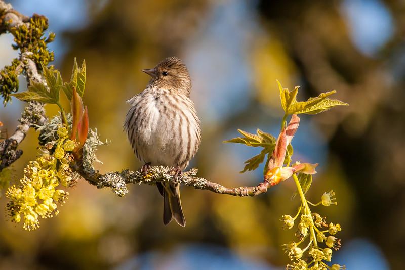 Pine Siskin (Spinus pinus)