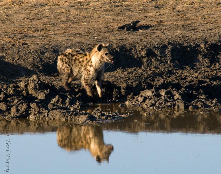 hyena medikwe (1).jpg