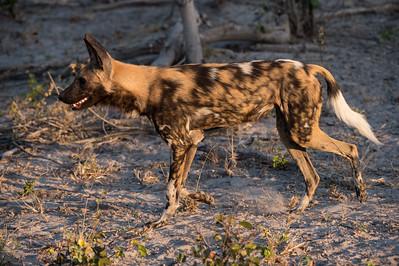 Wild dog hunt, Lebala, 06 2015