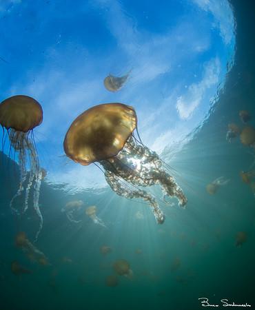Chrysaora fuscesens (brown sea nettle)