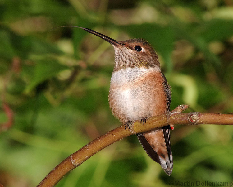 Immature Rufous Hummingbird.