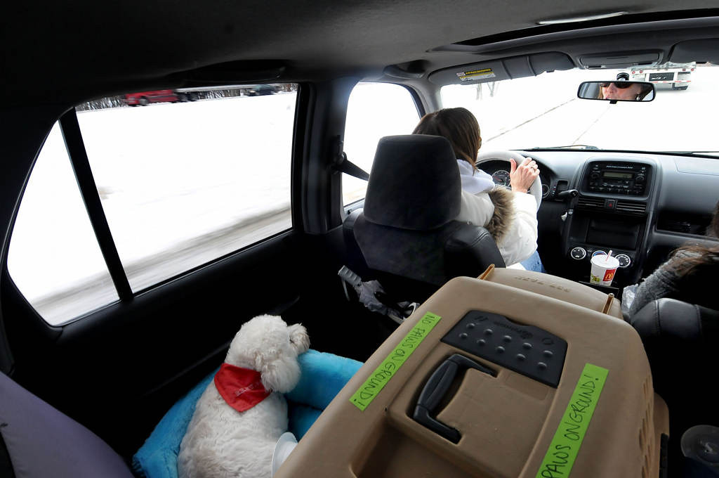 . Sunny, a 11-year-old Bichon male, rides in the back of Susan Stevens\' Honda on the way to Tomah, Wis. on Saturday, Feburary, 9, 2013. Sunny was surrendered by his owners after they owned him 11 years. (Pioneer Press: Sherri LaRose-Chiglo)