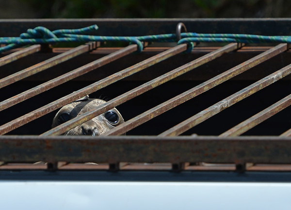 . A juvenile northern elephant seal waits in the back of a Marine Mammal Center truck before being released at Chimney Rock in West Marin, near Inverness, Calif. on Thursday, May 10, 2018. (Alan Dep/Marin Independent Journal)