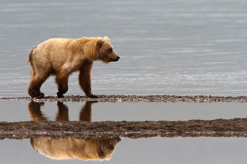 A young sub-adult brown bear walks along a gravel bar