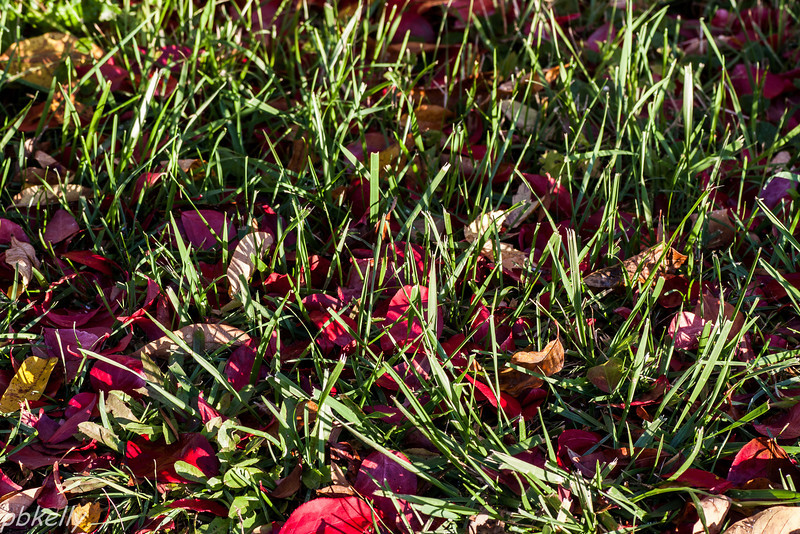 10-22.  Morning sun on the Pyracanthus leaves in the grass.
