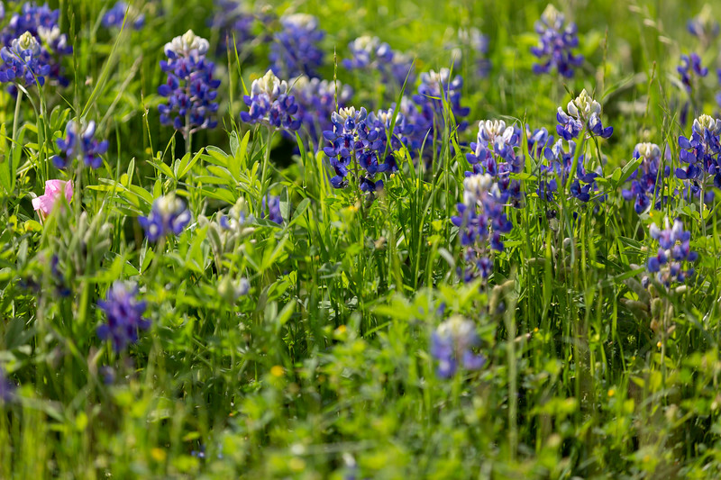 2019 Campus Bluebonnets_1662.jpg