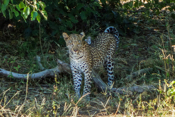 Chobe- Lions & Leopards 3-28-13 to 3-29-13