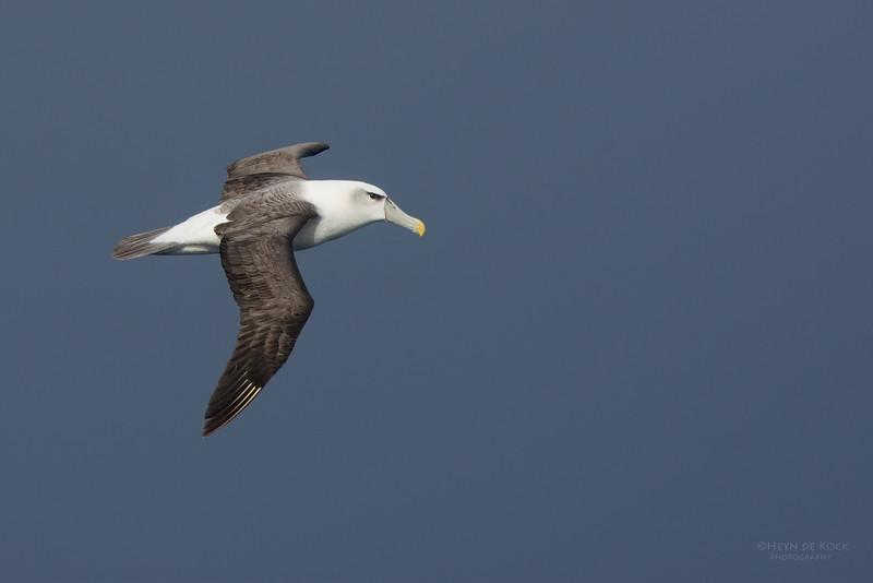 Shy Albatross, Eaglehawk Neck Pelagic, TAS, July 2015-3.jpg