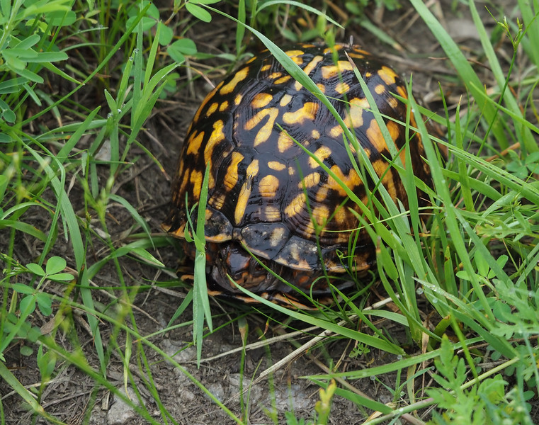 Box Turtle with mosquitoe (Aedes atlanticus?)