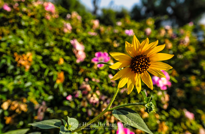 Rose Haven Heritage Garden Aug 2021