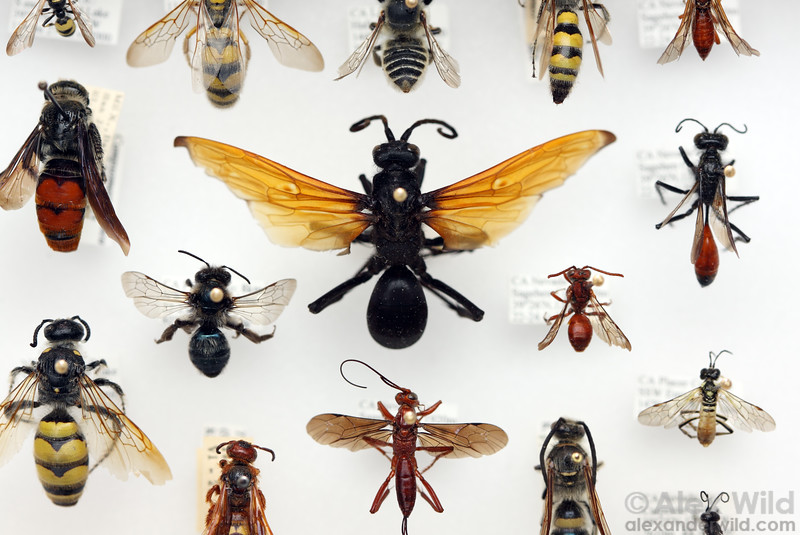 Hymenoptera, curated