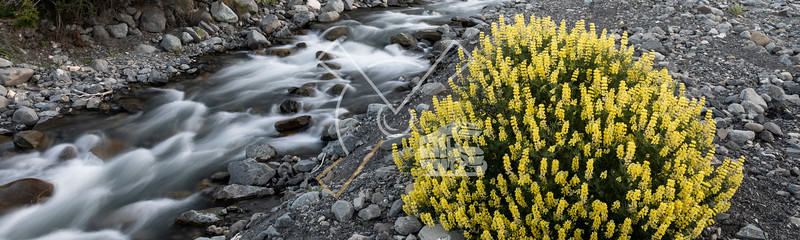 Yellow bush lupine contransting with a stream on grey rocks photographed with a slow shutter speed