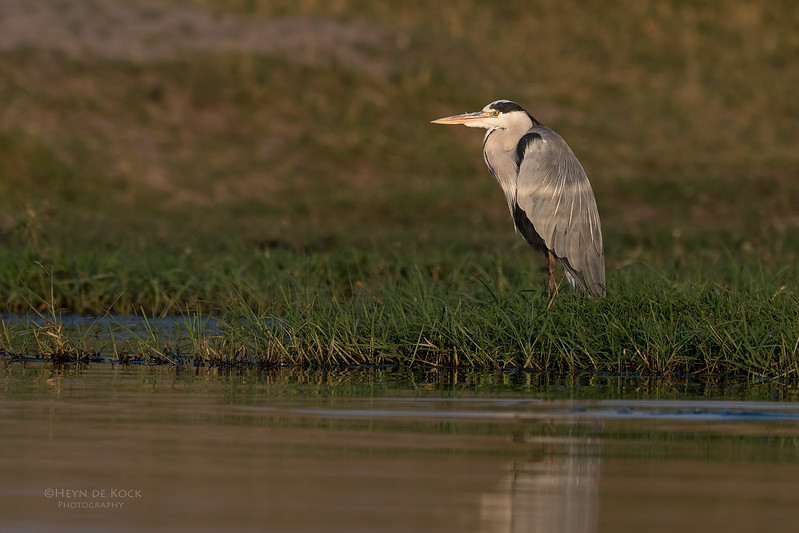 Grey Heron, Chobe River, NAM, Oct 2016-1.jpg