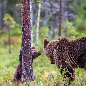 Brown bears in Eastern Finland