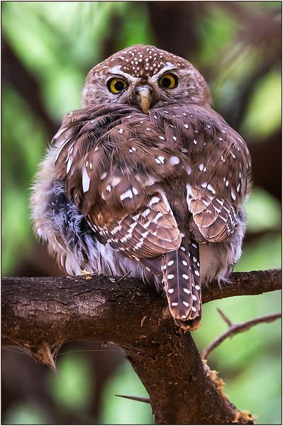 118.Joyce Burzloff.1.1Pearl Spotted Owlet.jpg