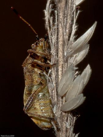 Shieldbug (Stictopleurus punctatonervosus)