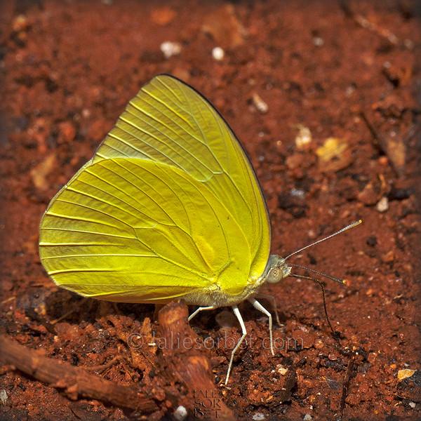 Lemon Emigrant - Catopsilia pomona .jpg