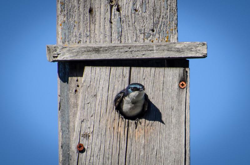 Tree swallow, Upper Klamath Lake National Wildlife Refuge's canoe trail from Rocky Point.