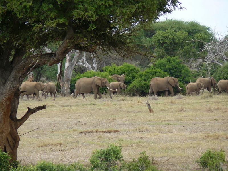 Elephants Tsavo East.jpg