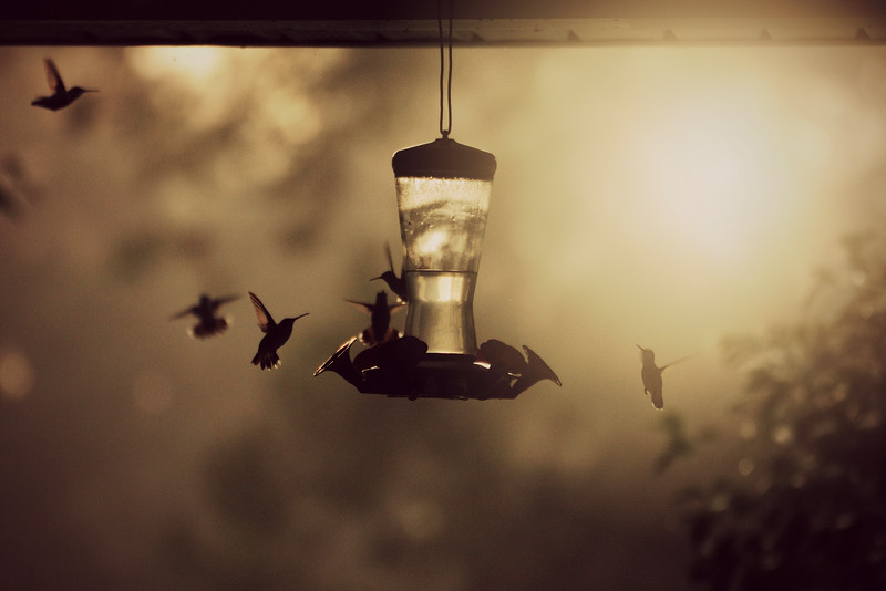 More famished hummingbirds arrived this morning.  I think we're up to about 45.