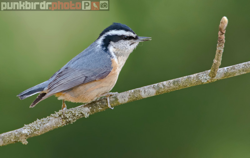 Red-breasted Nuthatch (Sitta canadensis)