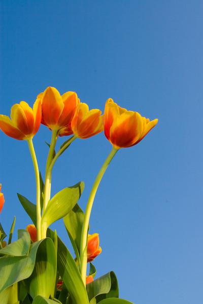 Tulips outdoor_24.jpg